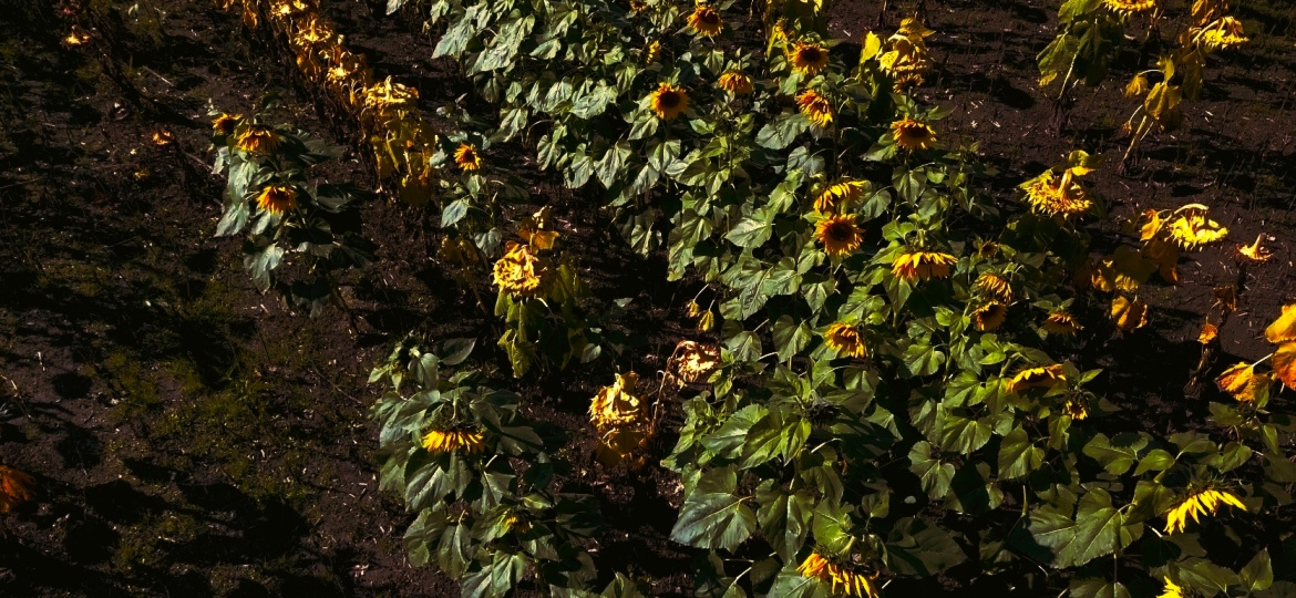 Fall Sunflowers – Photo Of TheDay